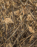 Corn Bunting camouflaged in reed. A Corn Bunting (Emberiza calandra) hides perfectly in the dense reed of the Aiguamolls de la Bobila nature area in Catalonia Royalty Free Stock Image