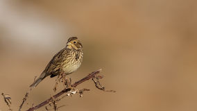 Corn Bunting Royalty Free Stock Photography
