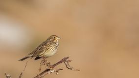 Corn Bunting Royalty Free Stock Photos