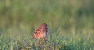 Corn Bunting Singing in Meadow. Corn bunting, Emberiza caesia, sings on top of meadow stock footage