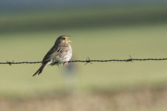 Corn bunting Stock Photos