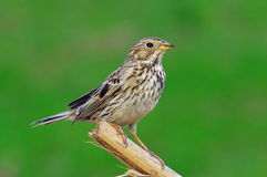 Corn bunting Stock Photography