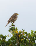 Corn Bunting Royalty Free Stock Photo