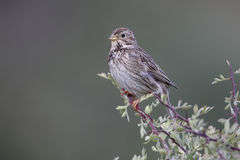 Corn bunting, Emberiza calandra Royalty Free Stock Photos