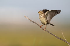 Corn bunting, Emberiza calandra Stock Photography