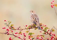 A corn bunting Emberiza calandra sits on a hawthorn bush wit a red berries and rain drops on them. A bird isolsted on blurred beige background stock photos