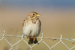 Corn Bunting Stock Photo