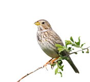 Corn Bunting isolated on white, miliaria calandra Stock Images