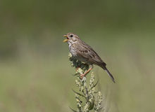 Corn Bunting male singing while sitting on a bush. Royalty Free Stock Images