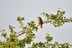 Corn bunting. Male Corn bunting singing on a tree Stock Photography