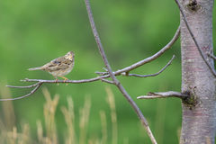 Corn bunting. Male Corn bunting singing on a tree Royalty Free Stock Image
