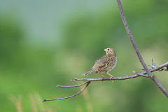 Corn bunting. Male Corn bunting singing on a tree Stock Photos
