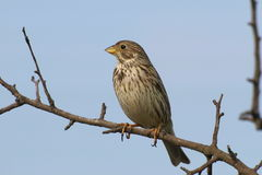 Corn Bunting, Miliaria calandra Stock Photo