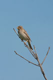 Corn bunting ( Miliaria calandra) Stock Photography