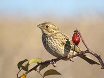 Corn Bunting miliaria calandra Royalty Free Stock Photos