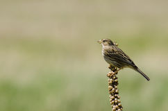 Corn bunting ( Miliaria calandra) Stock Photo
