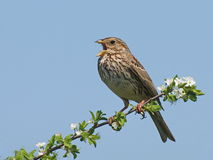 Corn Bunting, miliaria calandra Royalty Free Stock Images