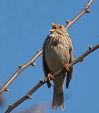 Corn Bunting, miliaria calandra Royalty Free Stock Photography