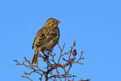 Corn Bunting miliaria calandra Royalty Free Stock Photography