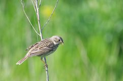 Corn bunting Miliaria calandra. The Corn Bunting Emberiza calandra is a passerine bird in the bunting family Emberizidae, a group now separated by most modern royalty free stock images