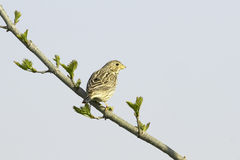 Corn Bunting  / Miliaria (Emberiza) calandra Stock Photo