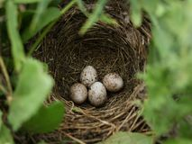Corn bunting nest with four eggs. royalty free stock image