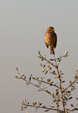 A Corn Bunting on an olive tree Royalty Free Stock Photos