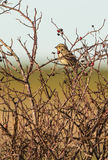 Corn Bunting perched on Dog Rose Stock Photos