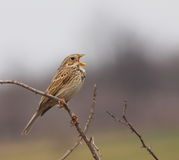 Corn Bunting sing, Miliaria Calandra Royalty Free Stock Photography