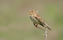 Corn bunting singing Royalty Free Stock Photo