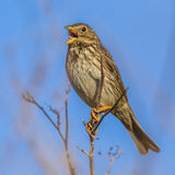 Corn Bunting singing from high position. Corn Bunting (Emberiza calandra) Perched and singing from high position Royalty Free Stock Images