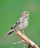 Corn bunting singing Stock Photography