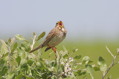 Corn bunting  singing. Stock Image