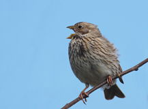 Corn Bunting sings Stock Photo