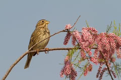 Corn Bunting At Spring Royalty Free Stock Image
