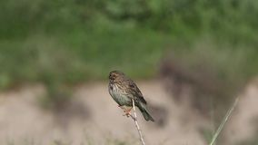 Corn Bunting on Thin Branch. Corn bunting, Emberiza caesia, on very thin branch is swinging back and forth on thin branch stock video