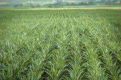 Corn chain. Gren field of corn chain Royalty Free Stock Photo