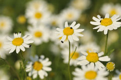 Corn Chamomile. Anthemis arvensis White arable weed against diffused background Stock Photo