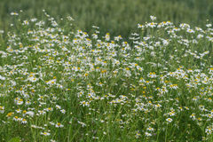 Corn chamomile blossom.  Mayweed bloom. White blooming flowers in natural environment. Scentless chamomile flower. Stock Image