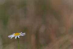 Corn chamomile (Matricaria inodora) Stock Photo
