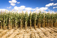 Corn cleaning Stock Images