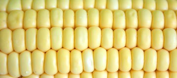 Corn close-up. Fresh corn in close-up view stock photo