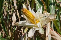 Corn close-up Stock Photography