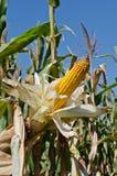 Corn close-up Stock Photo