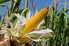Corn close-up Royalty Free Stock Image