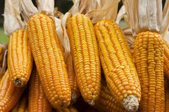 Corn close-up. After harvest Royalty Free Stock Images