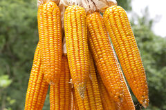 Corn close-up hold with hands. After harvest royalty free stock photography