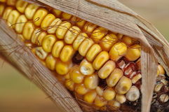 Corn Closeup. A macro closeup of the ear of corn maize royalty free stock images