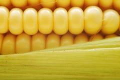 Corn closeup Stock Image