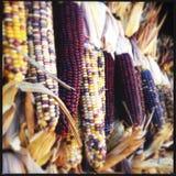 Corn closeup Royalty Free Stock Image